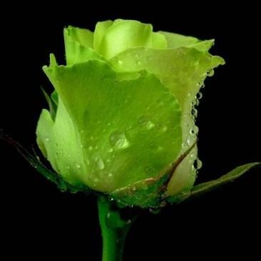green-rose_0