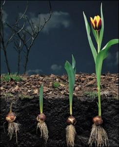 tulip growth