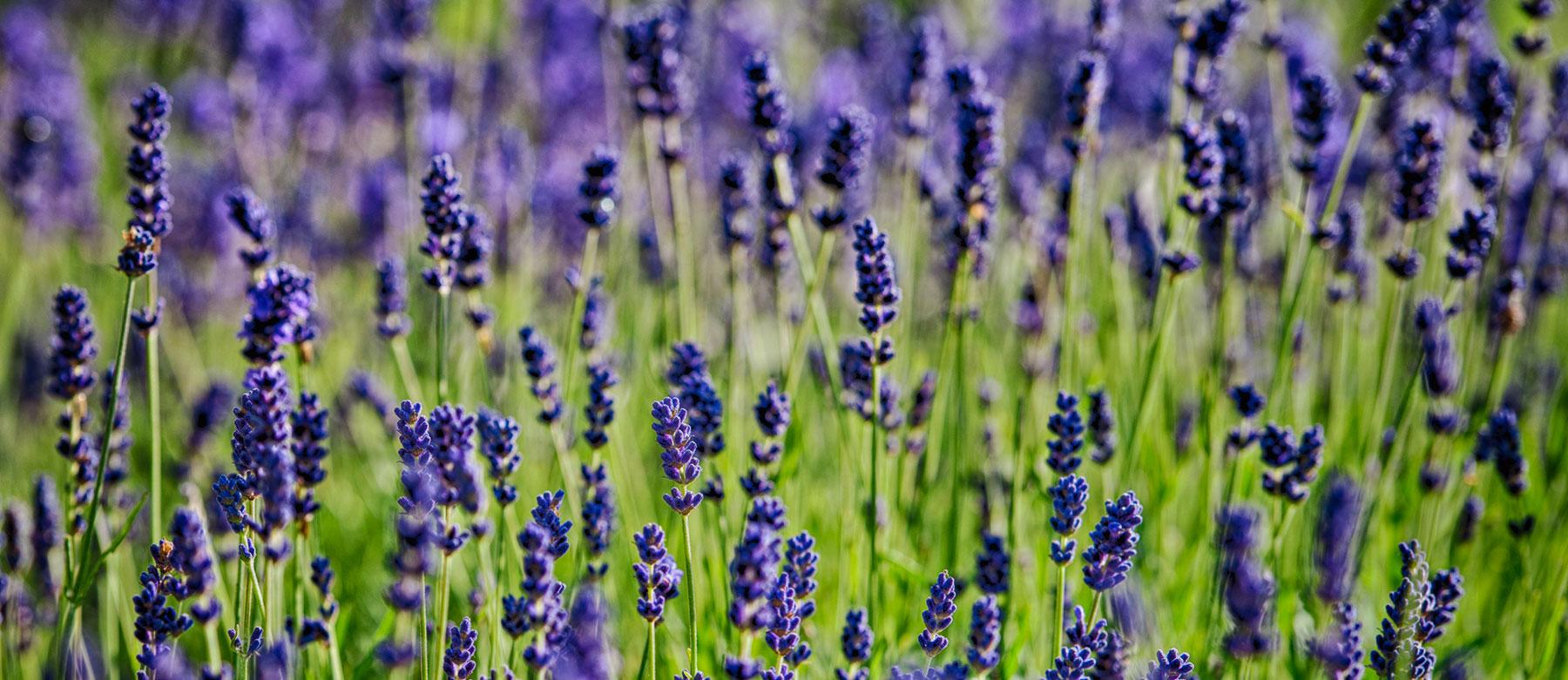lavender-banner